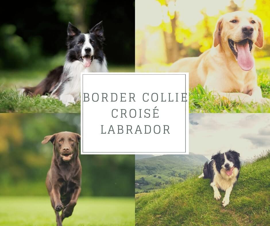 Border Collie croisé Labrador