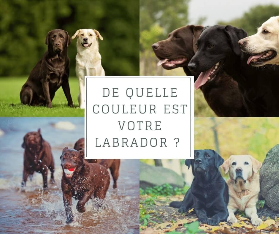 De quelle couleur est votre Labrador