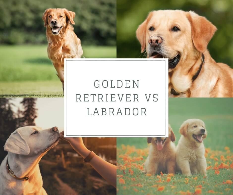 labrador golden retriever
