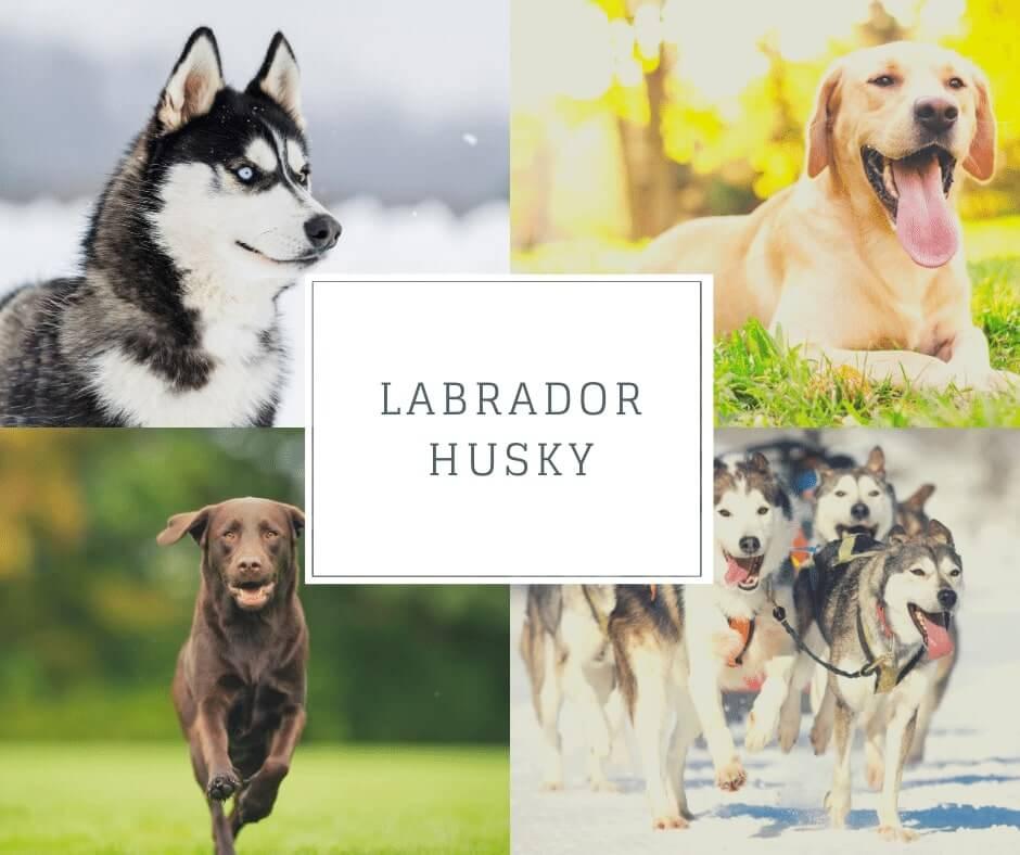Labrador croisé Husky