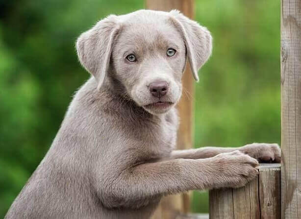 Combien coûte un Labrador argenté