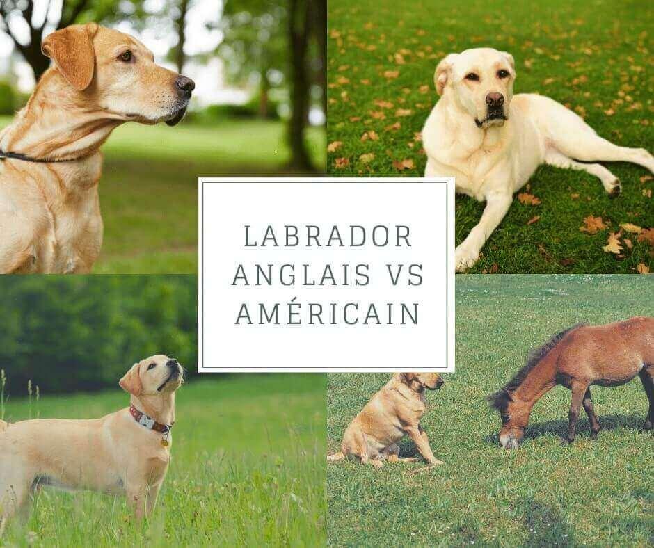Labrador anglais vs américain