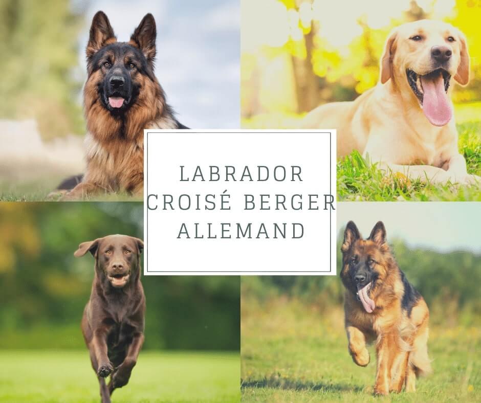 Labrador croisé Berger Allemand