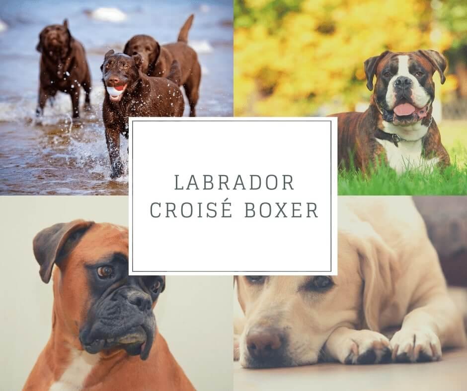 Labrador croisé Boxer