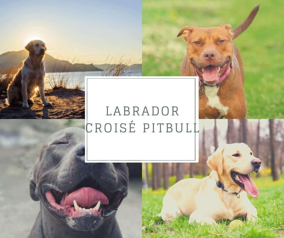 Labrador croisé Pitbull