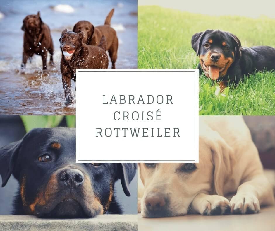 Labrador croisé Rottweiler