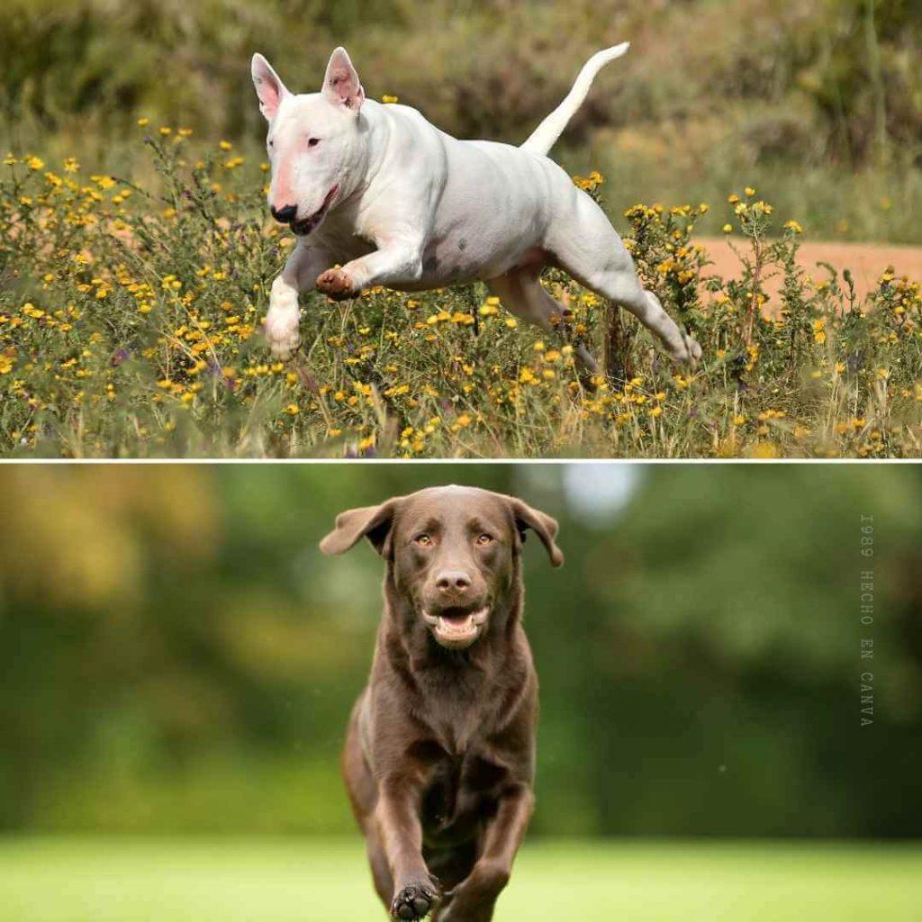 Labrador croisée avec un Bull Terrier