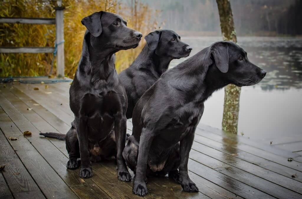 Photos d'adultes du Labrador noir