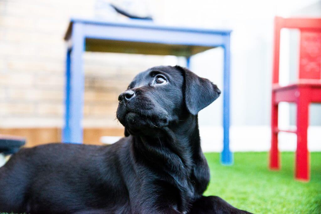 Photos de chiots Labrador noirs